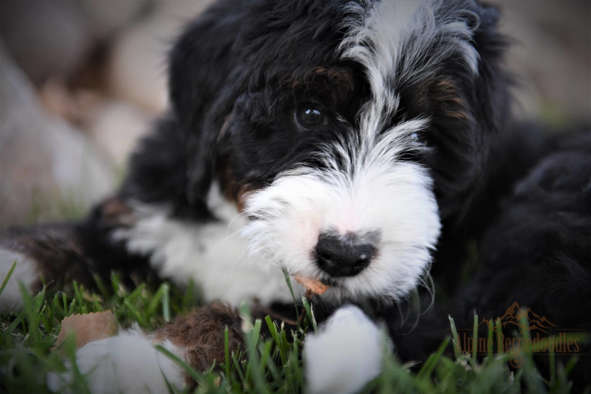 Murray the Alpine Bernedoodle Puppy