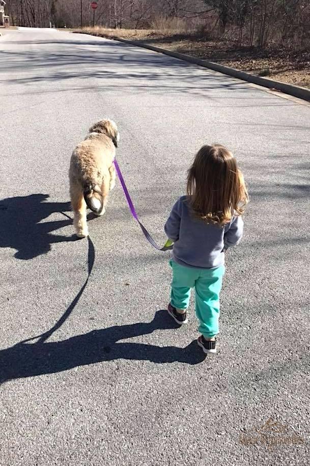 girl walking her Alpine Bernedoodle dog