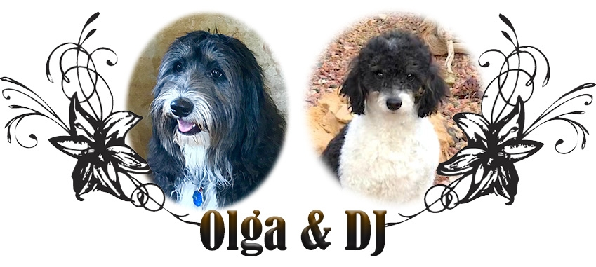 Olga and DJ Paired Bernedoodle Breeding