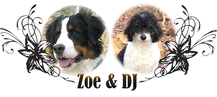 Zoe and DJ Paired Bernedoodle Breeding