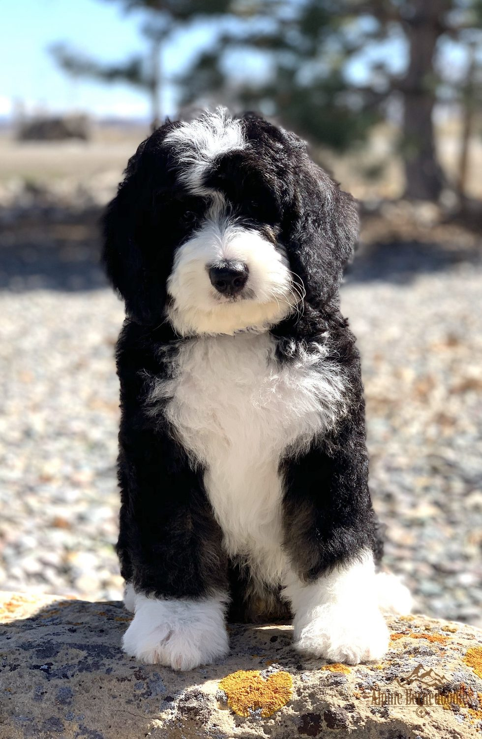 Miniature Micro Mini And Australian Bernedoodle Puppies