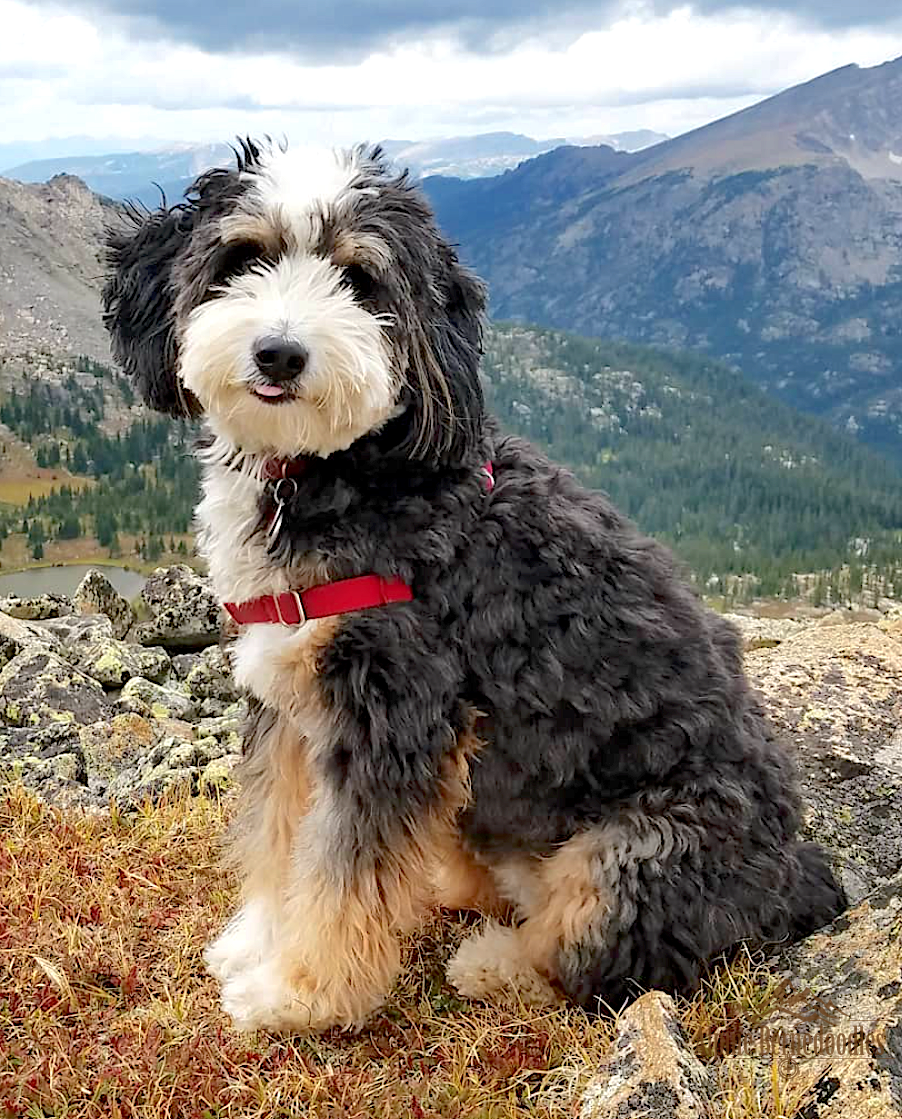 About Bernedoodles Alpine