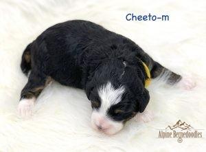 Cheeto, 1 week old F1B Micro Mini puppy