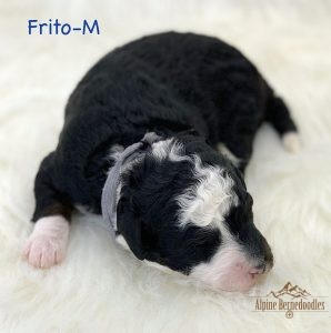 Frito, 1 week old F1B Micro Mini puppy