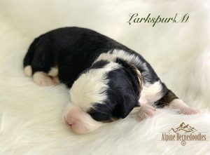 1 week old F1 Miniature Bernedoodle Puppy