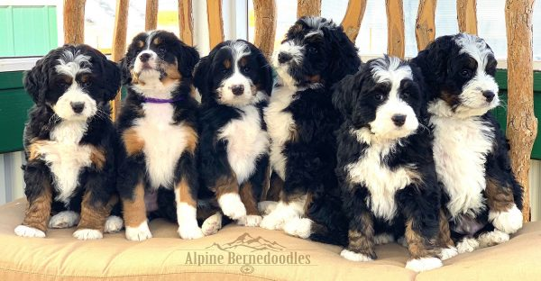 Miniature Micro Mini And Australian Bernedoodle Puppies
