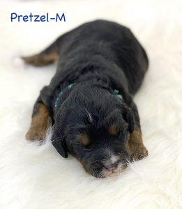 Pretzel, 1 week old F1B Micro Mini puppy