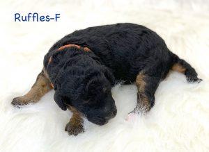 Ruffles, 1 week old F1B Micro Mini puppy