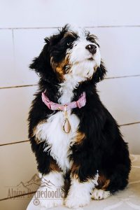 Ollie, Female Alpine Bernedoodle Puppy