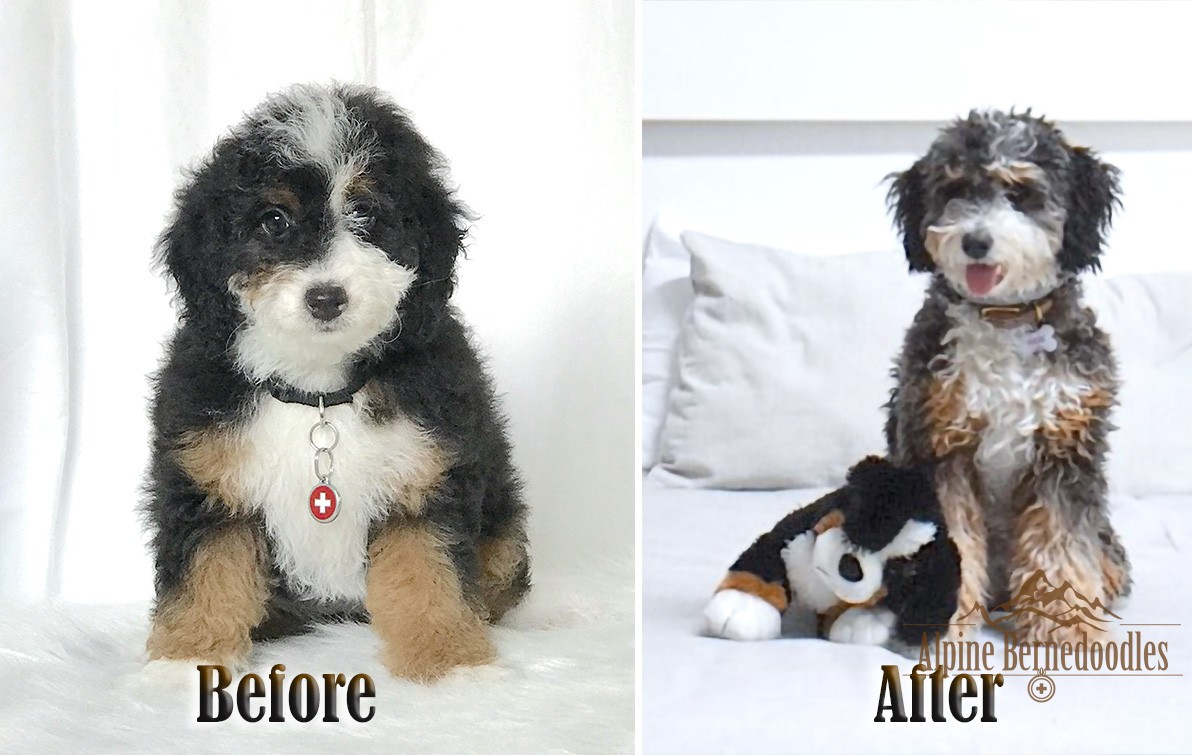 Before and After of the F1B Micro Mini Bernedoodle