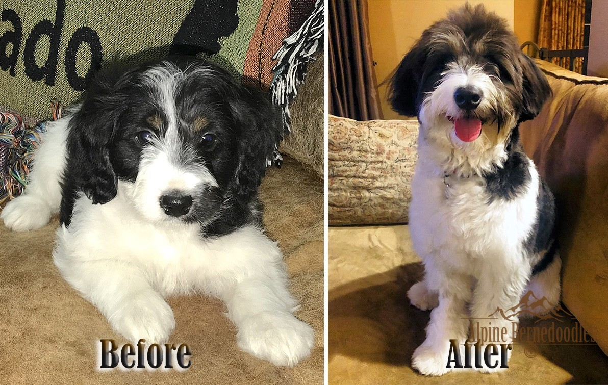 Before and After Teddy Bear Bernedoodle