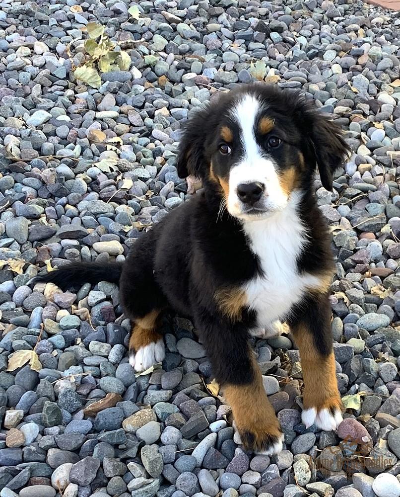 Rosie, Bernese Mountain Dog Dam