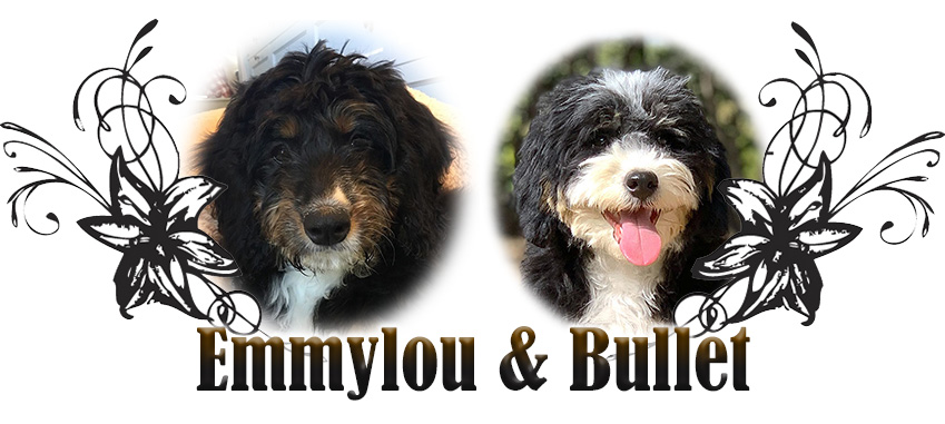 Emmylou and Bullet Paired Bernedoodle Breeding