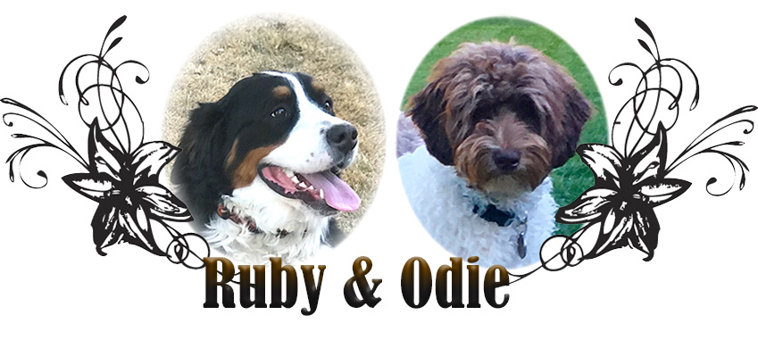 Ruby and Odie: Bernedoodle Paired Breeding