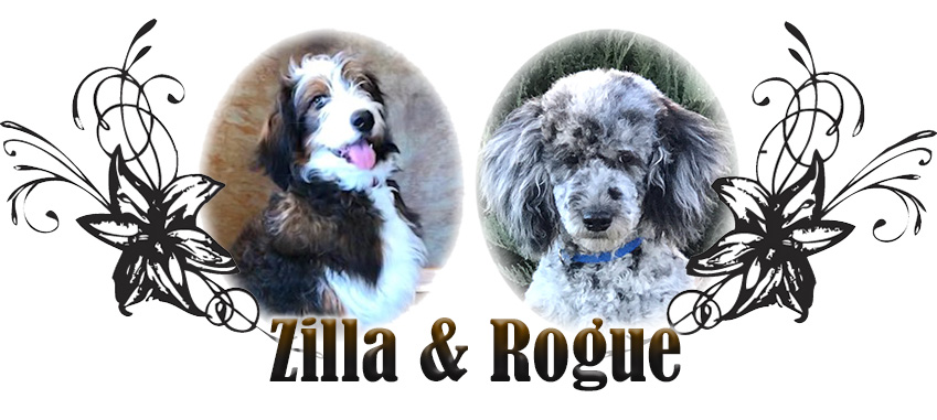 Zilla and Rogue Paired Bernedoodle Breeding