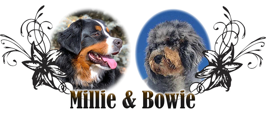 Millie and Bowie Paired Breeding