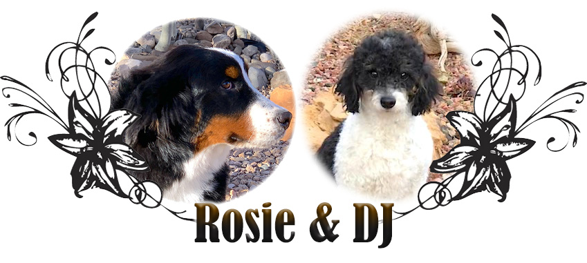 Millie and Bowie Paired Bernedoodle Breeding