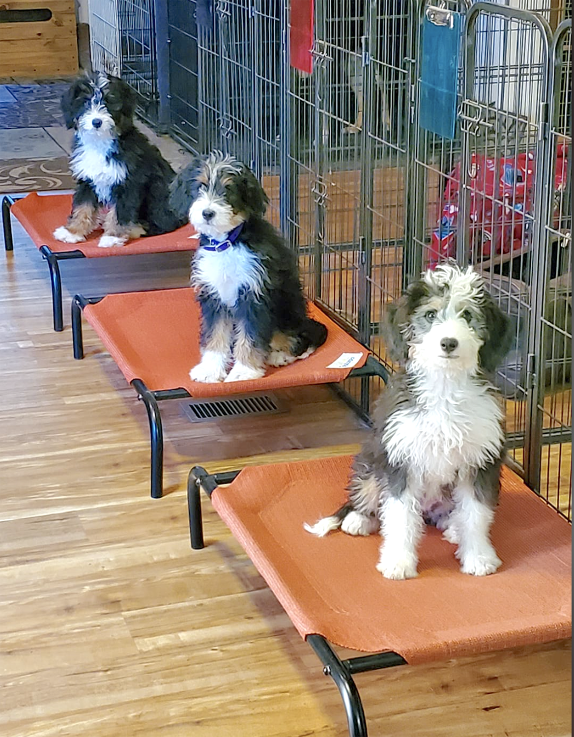 Alpine Bernedoodles staying on cots
